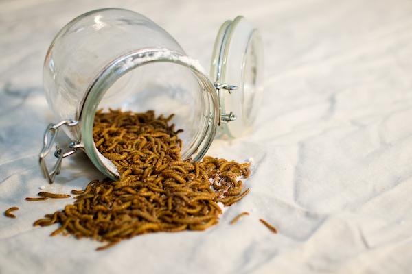 El insecto Tenebrio Molitor es una de las tipologías aptas para la alimentación humana