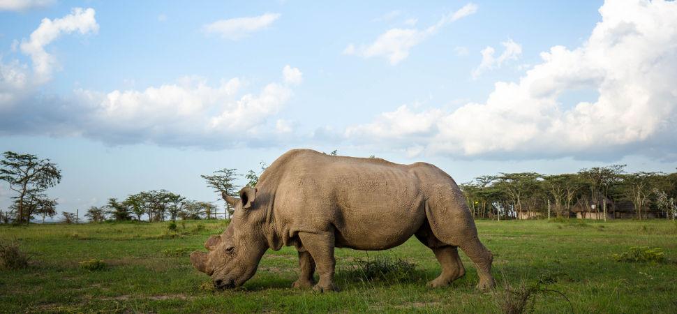 El último rinoceronte blanco busca pareja en Tinder
